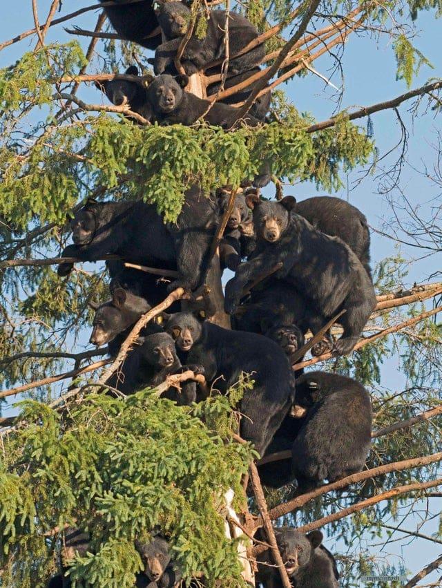 des ours dans un arbre
