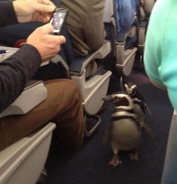 des manchots dans un avion de ligne