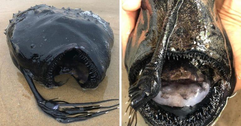 un poisson football découvert sur une plage en californie