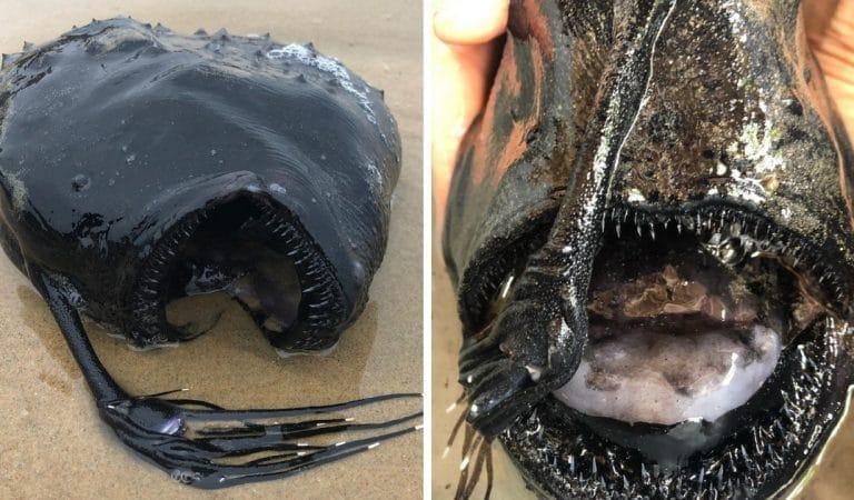 Une créature abyssale digne d'Alien s'échoue sur une plage californienne
