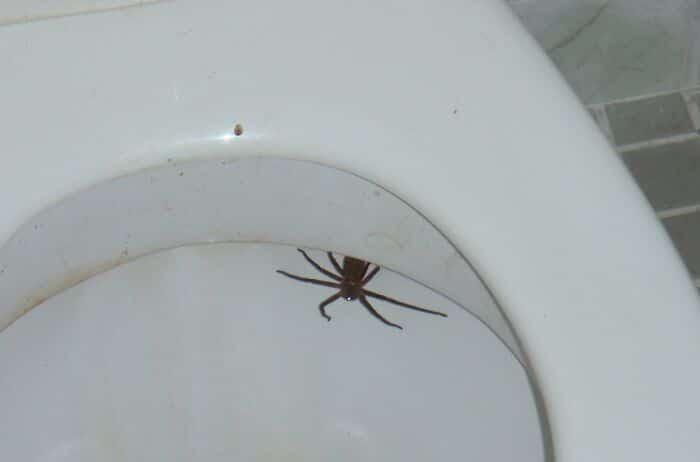 une araignée dans les toilettes