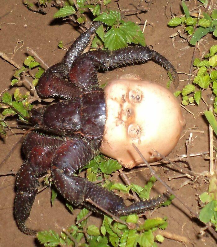 un crabe dans une tête de poupée