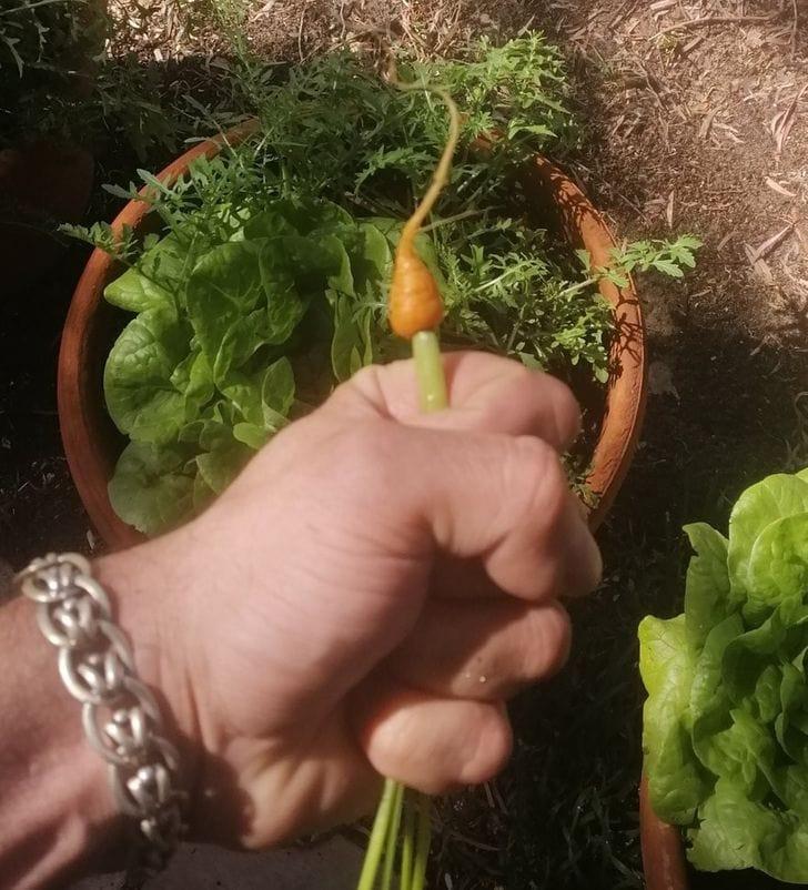 une carotte trop petite