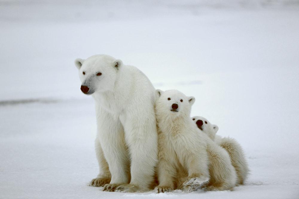 climat arctique et animaux
