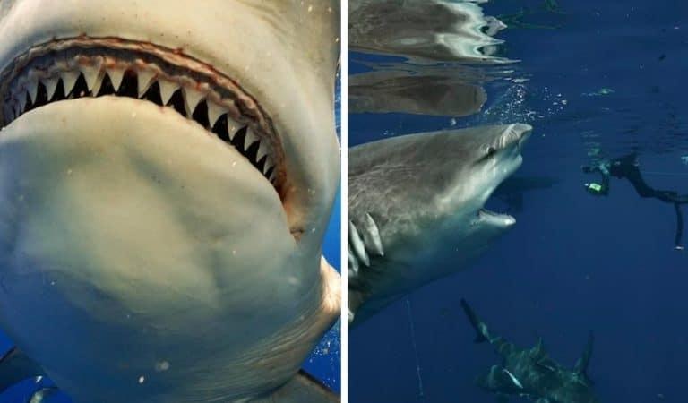 Il croise l'un des requins les plus dangereux du monde et le photographie