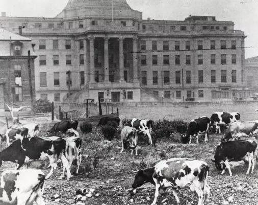 vaches devant l'hôpital de boston