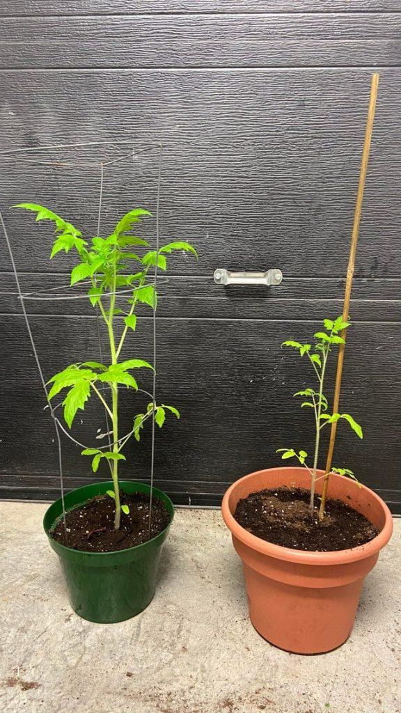 deux plants de tomates