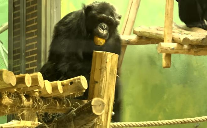 chita-chimpanze