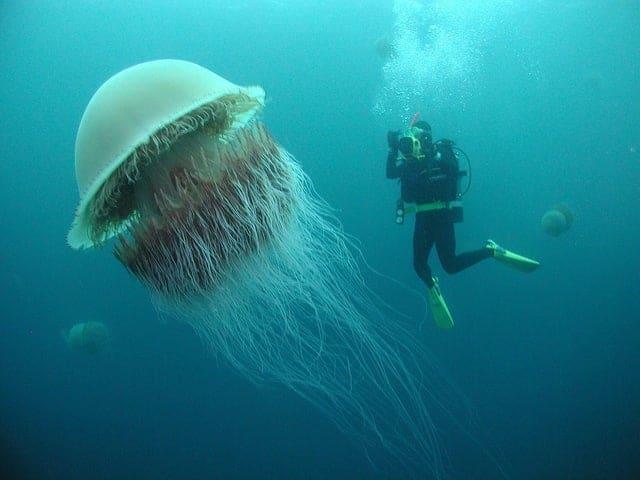 choses-des-meduses-geantes