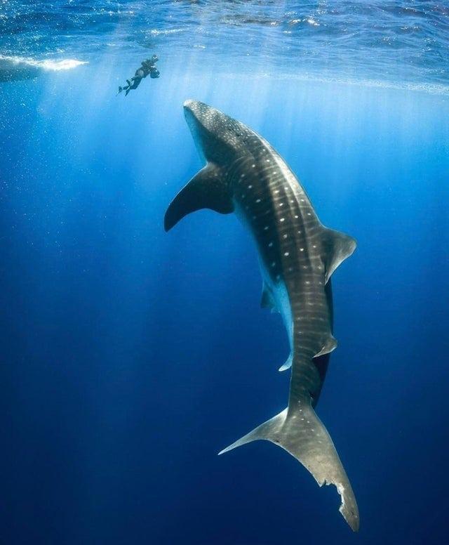 choses-requin-baleine-geant
