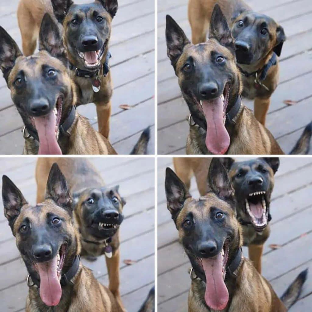 chiens-photobombing