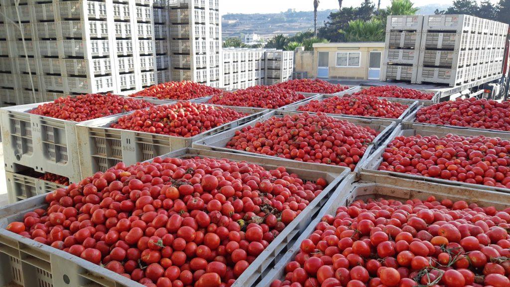 Des caisses de tomates